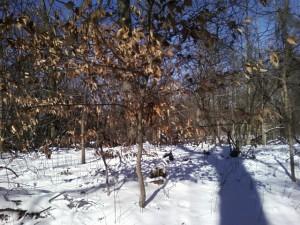 Beech tree in January
