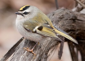 Kelly Azar, http://www.allaboutbirds.org/guide/Golden-crowned_Kinglet/lifehistory