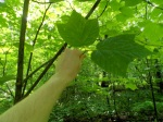 Striped Maple, an understory tree (http://njurbanforest.com/about-nj-urban-forest/)
