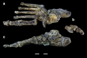 Digital reconstruction of Homo naledi foot. Nature Communications, August 2015